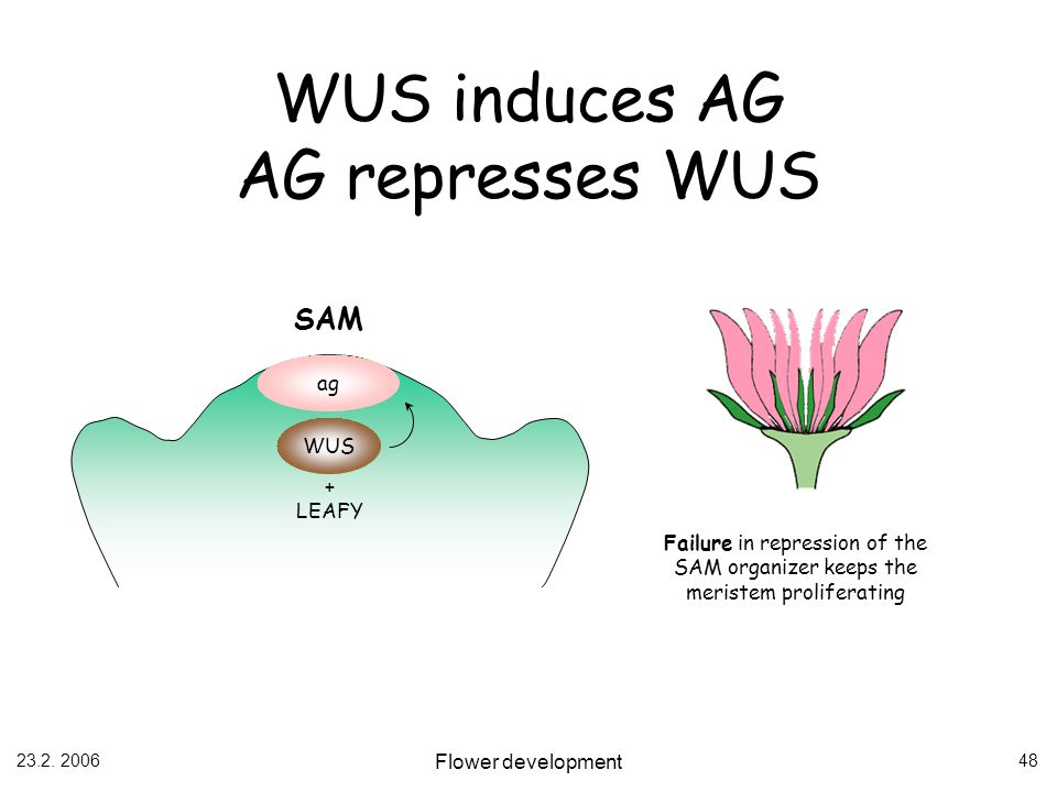 WUS induces AG AG represses WUS