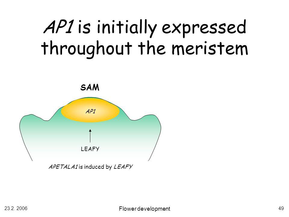 AP1 is initially expressed throughout the meristem