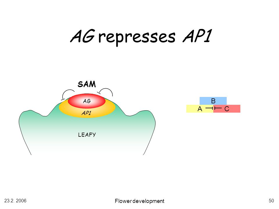 AG represses AP1 SAM AG B A C AP1 LEAFY 23.2. 2006 Flower development
