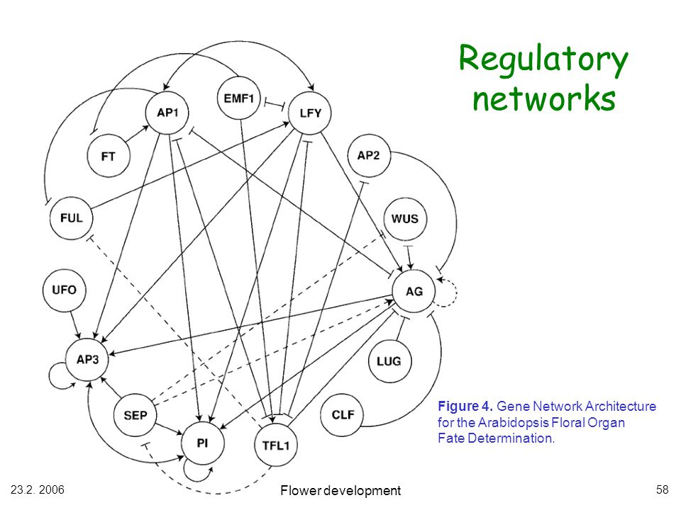 Regulatory networks Figure 4. Gene Network Architecture for the Arabidopsis Floral Organ. Fate Determination.