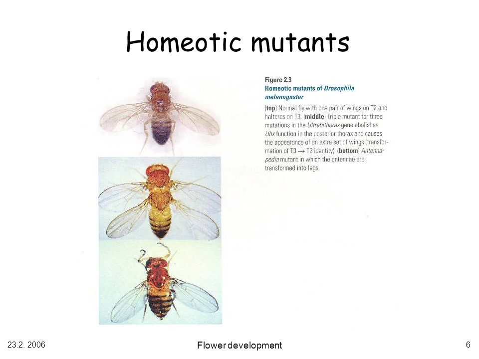 Homeotic mutants Flower development