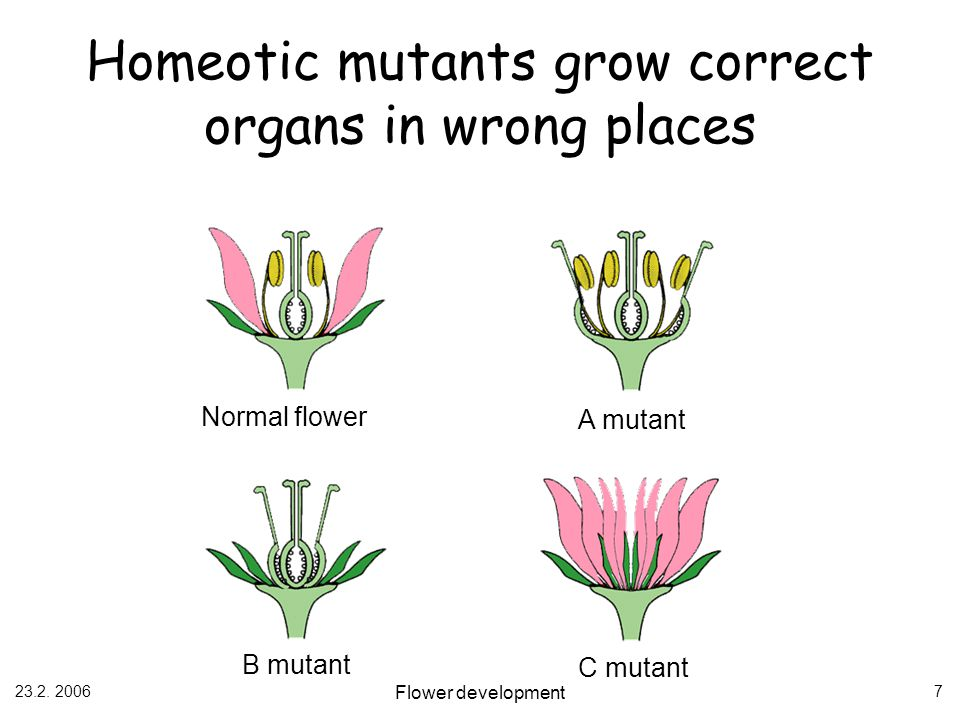 Homeotic mutants grow correct organs in wrong places