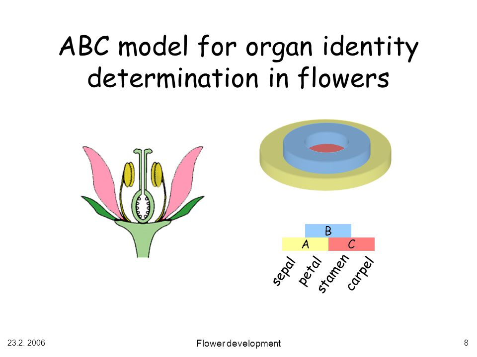 ABC model for organ identity determination in flowers