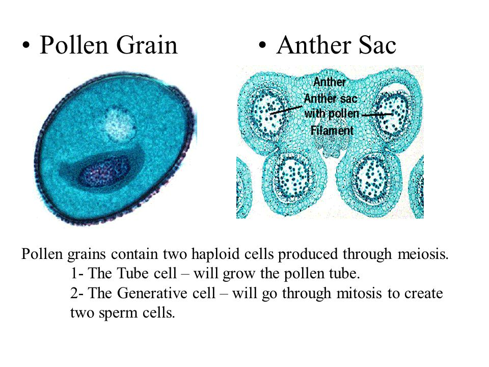 Pollen Grain Anther Sac