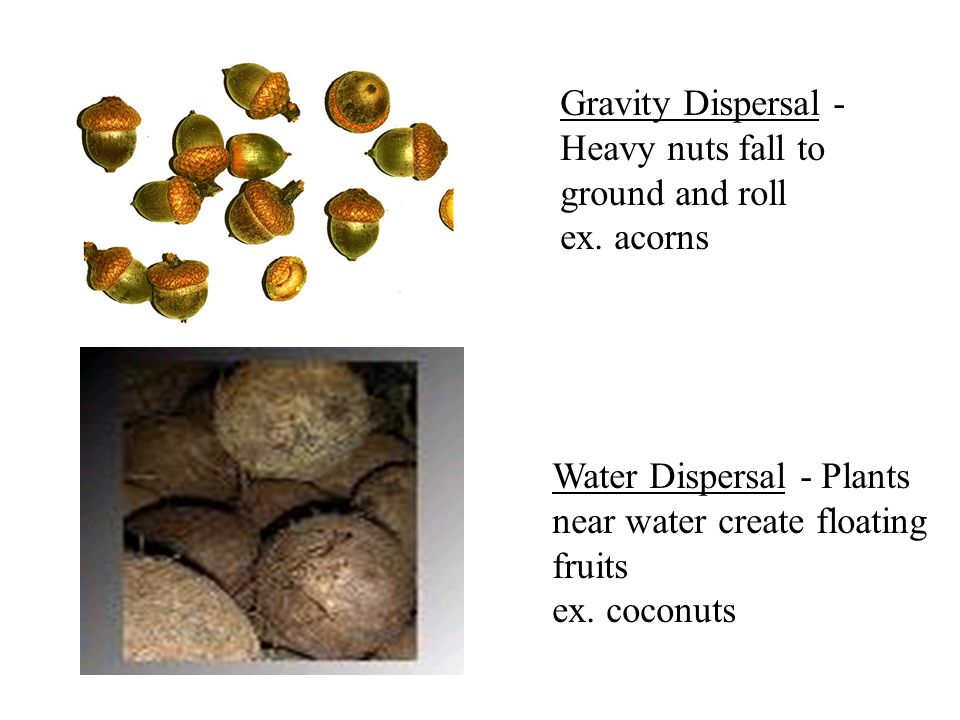 Gravity Dispersal - Heavy nuts fall to ground and roll