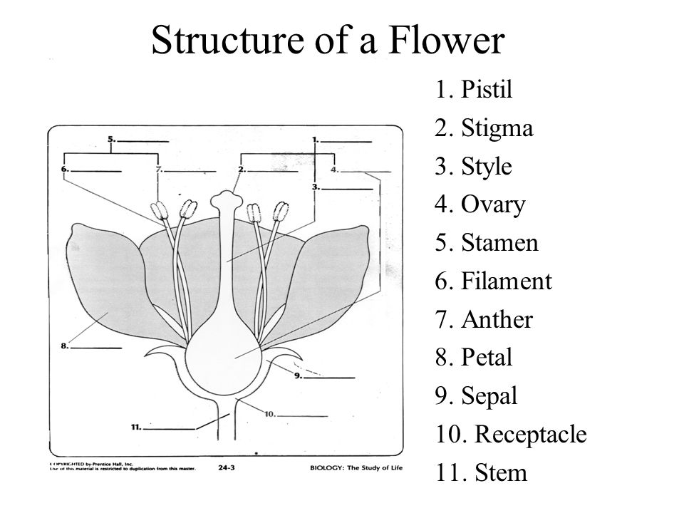 Structure of a Flower 1. Pistil 2. Stigma 3. Style 4. Ovary 5. Stamen