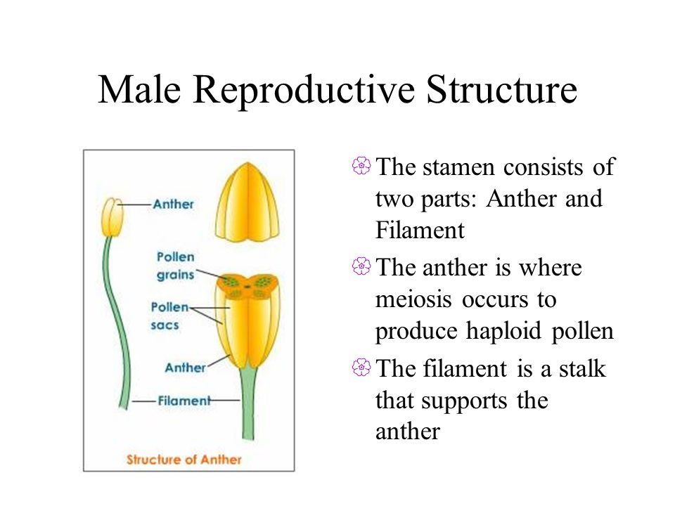 Male Reproductive Structure