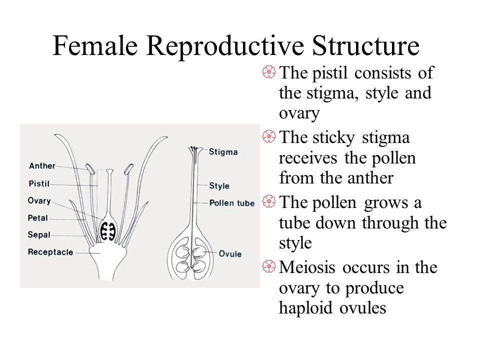 Female Reproductive Structure