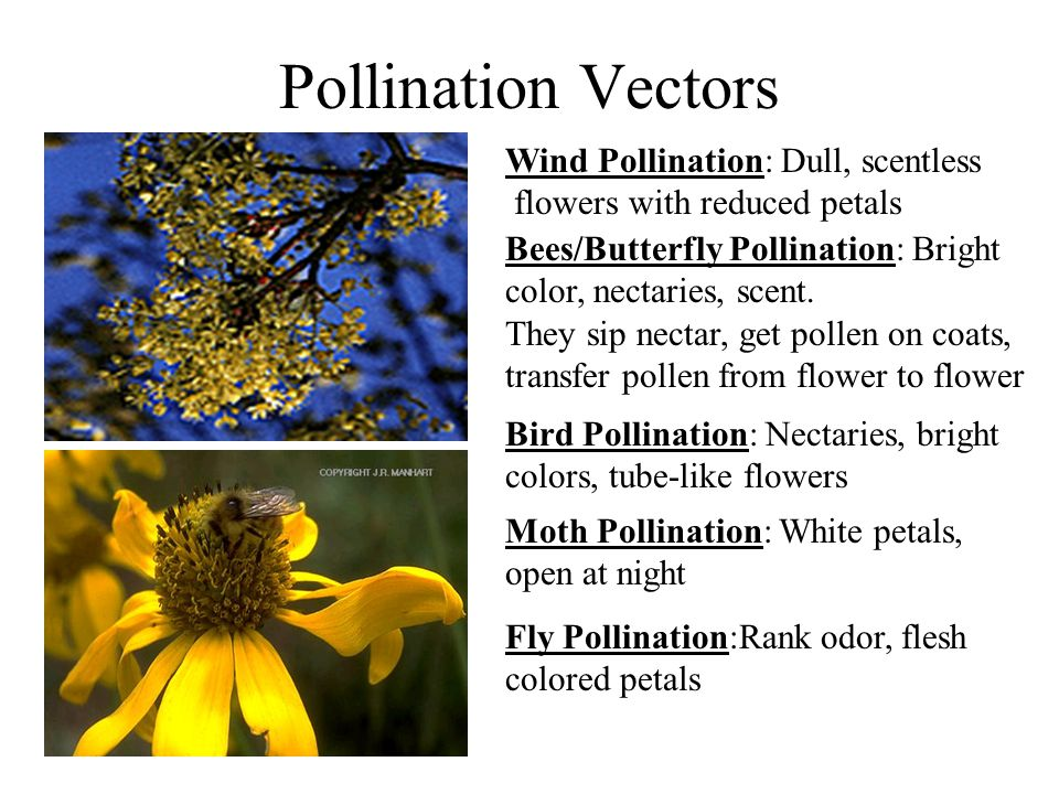 Pollination Vectors Wind Pollination: Dull, scentless