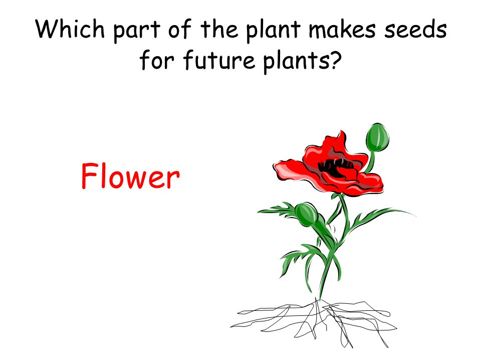 Which part of the plant makes seeds for future plants