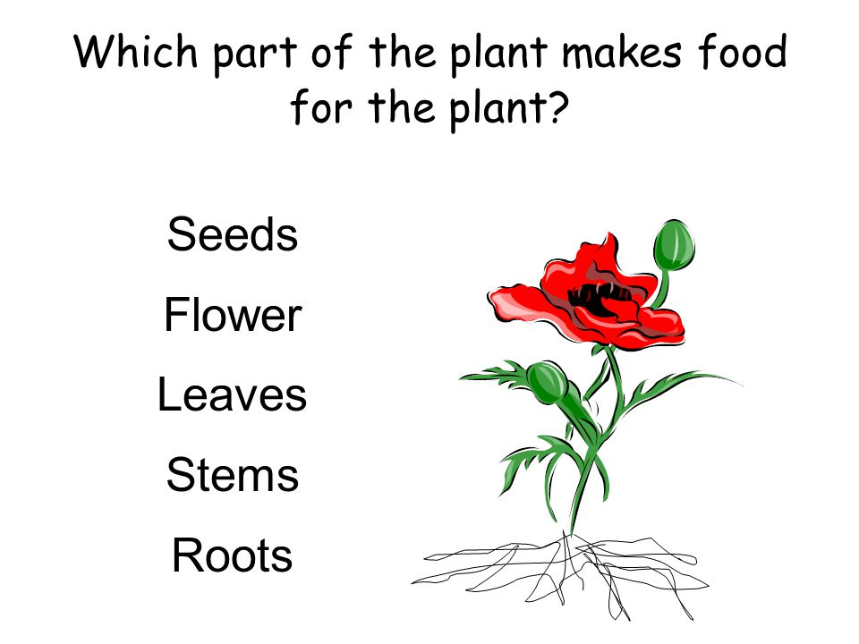 Which part of the plant makes food for the plant