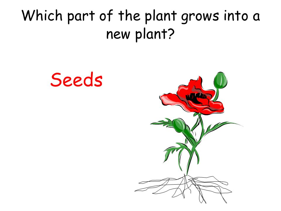 Which part of the plant grows into a new plant