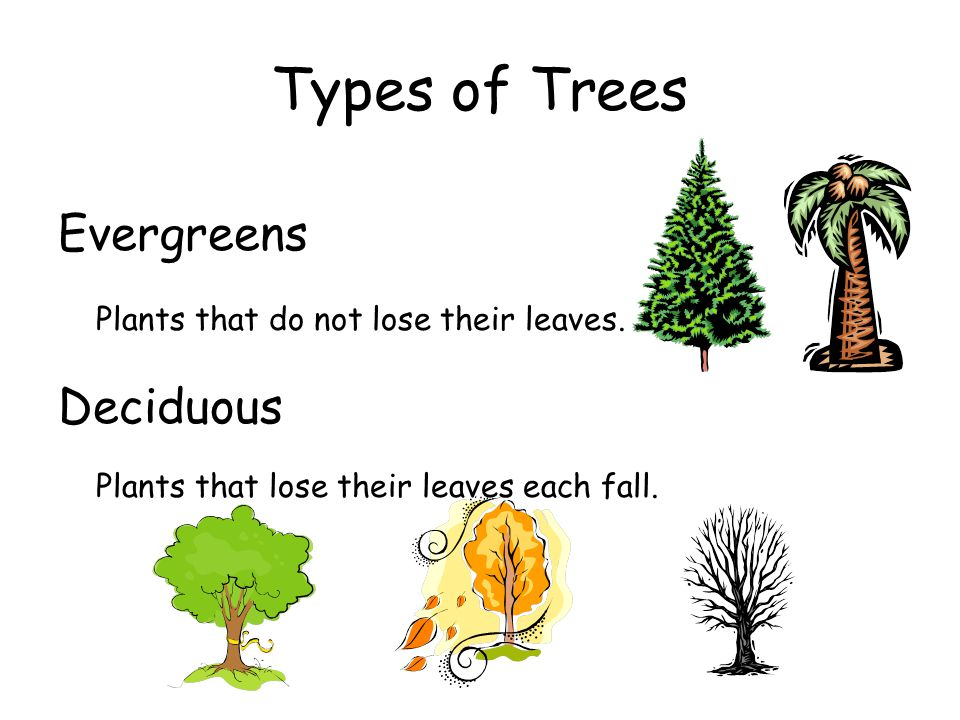 Types of Trees Evergreens Deciduous