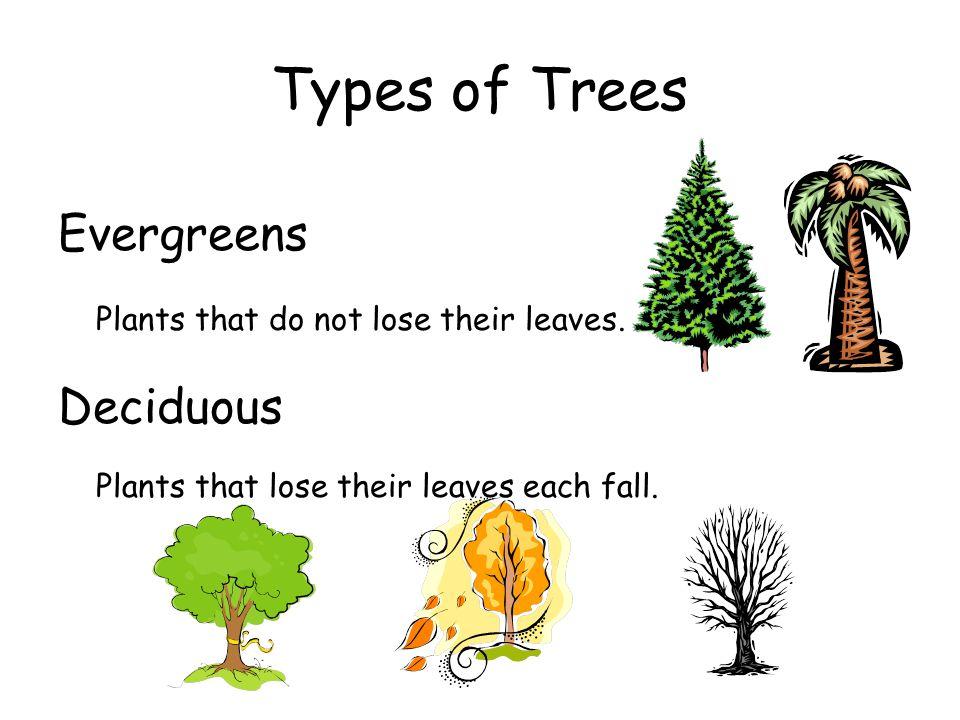 Types of Trees Evergreens Deciduous