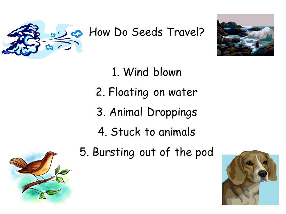 How Do Seeds Travel 1. Wind blown. 2. Floating on water. 3. Animal Droppings. 4. Stuck to animals.