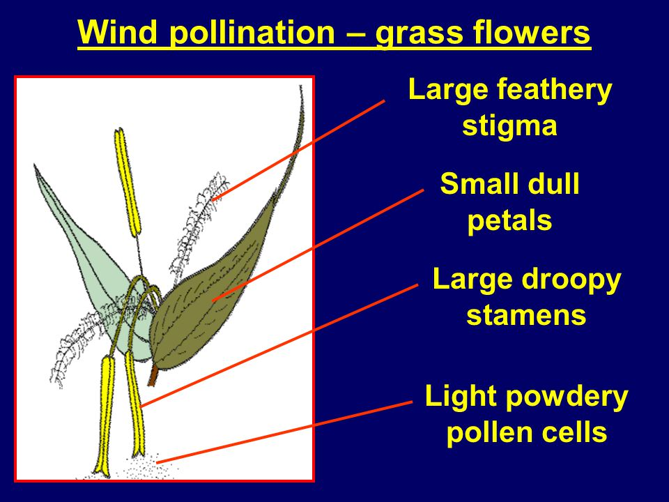 Wind pollination – grass flowers