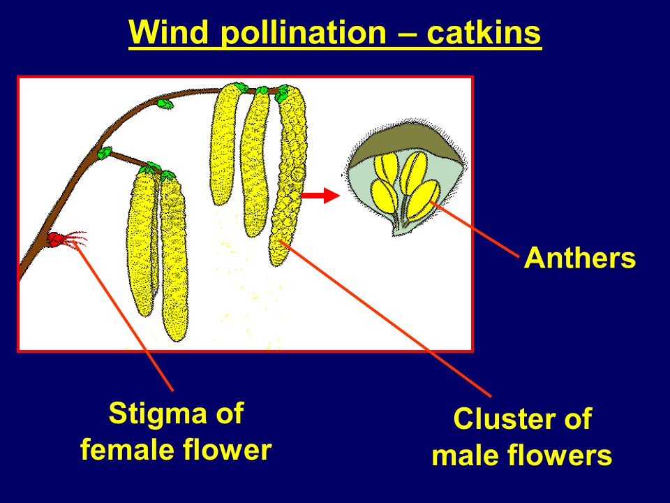 Wind pollination – catkins