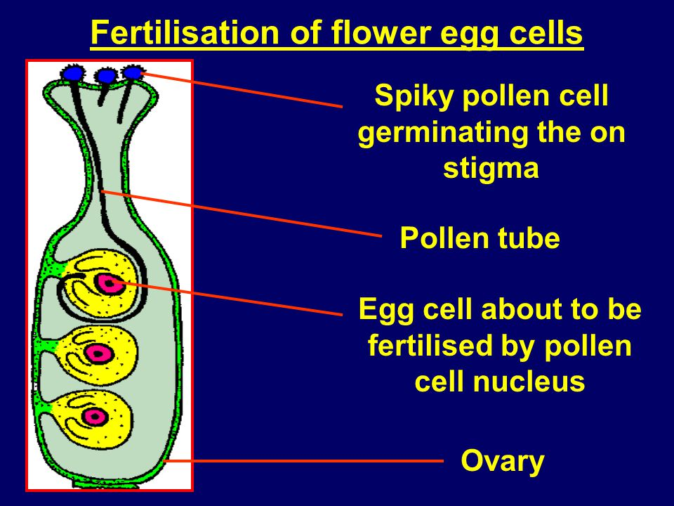 Fertilisation of flower egg cells