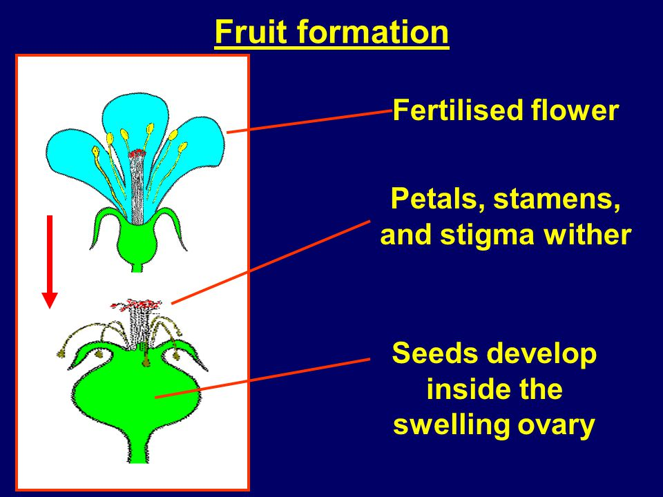 Fruit formation Fertilised flower Petals, stamens, and stigma wither