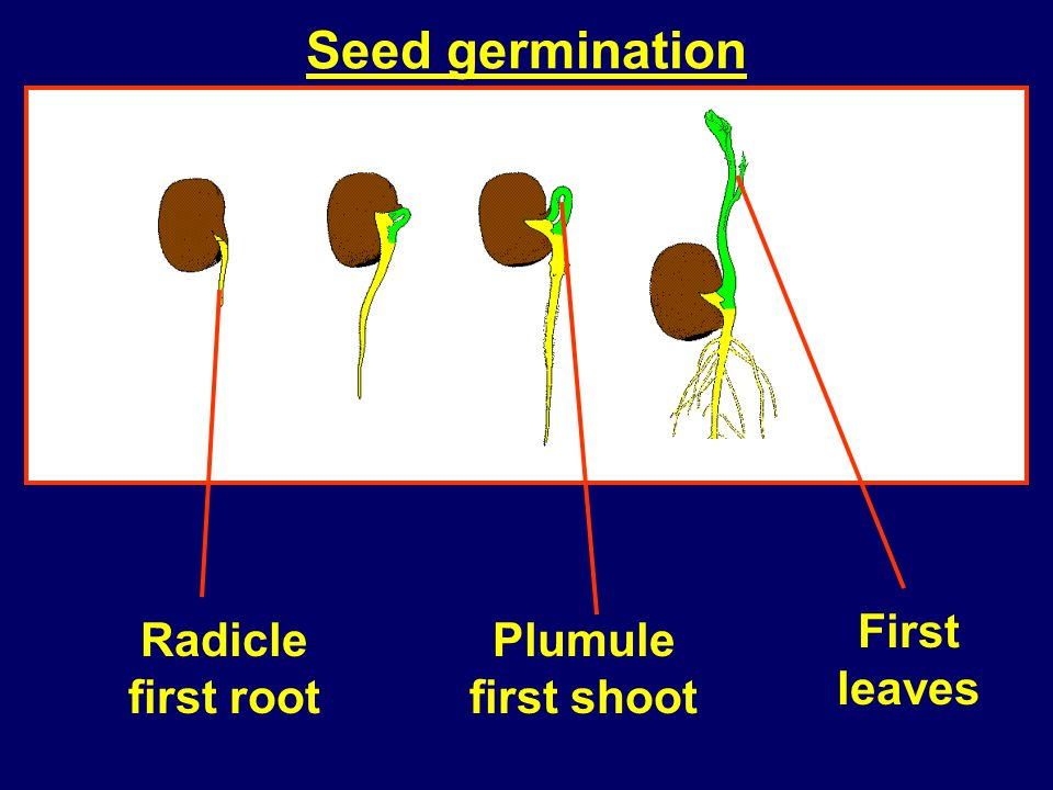 Seed germination First leaves Radicle first root Plumule first shoot