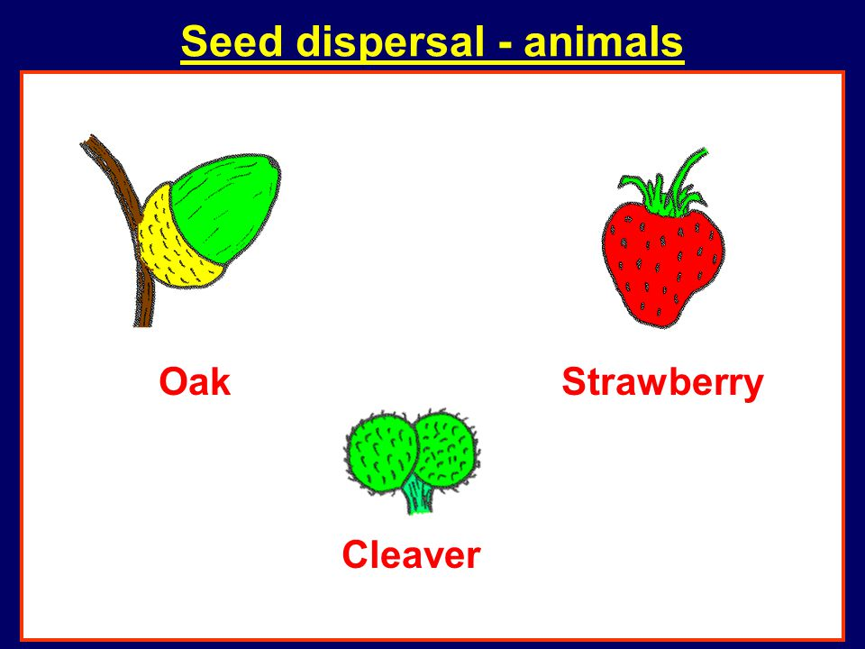 Seed dispersal - animals