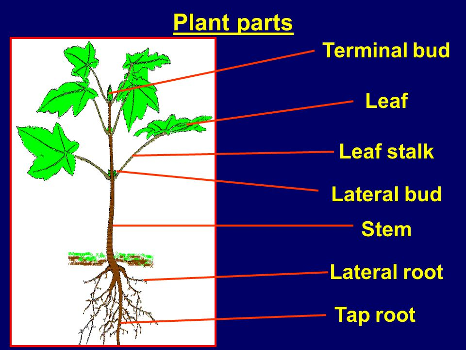 Plant parts Terminal bud Leaf Leaf stalk Lateral bud Stem Lateral root