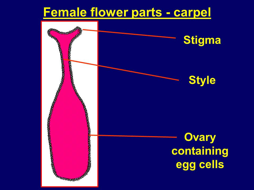 Female flower parts - carpel