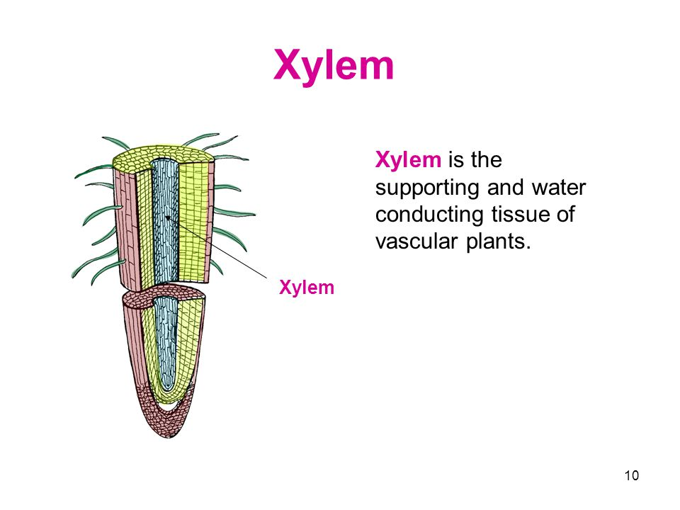 Xylem Xylem is the supporting and water conducting tissue of vascular plants. Xylem
