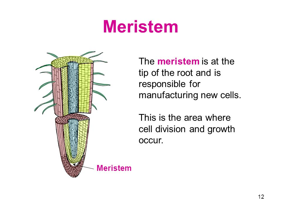 Meristem The meristem is at the tip of the root and is responsible for manufacturing new cells.