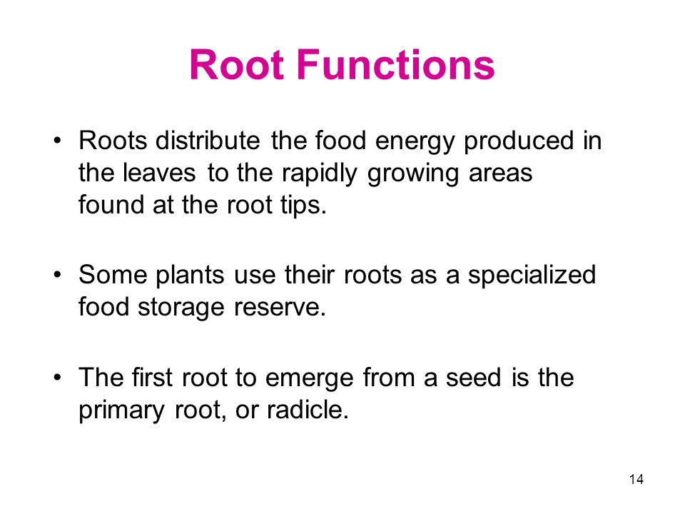 Root Functions Roots distribute the food energy produced in the leaves to the rapidly growing areas found at the root tips.
