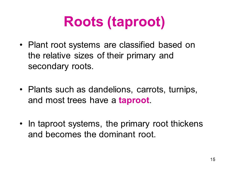 Roots (taproot) Plant root systems are classified based on the relative sizes of their primary and secondary roots.