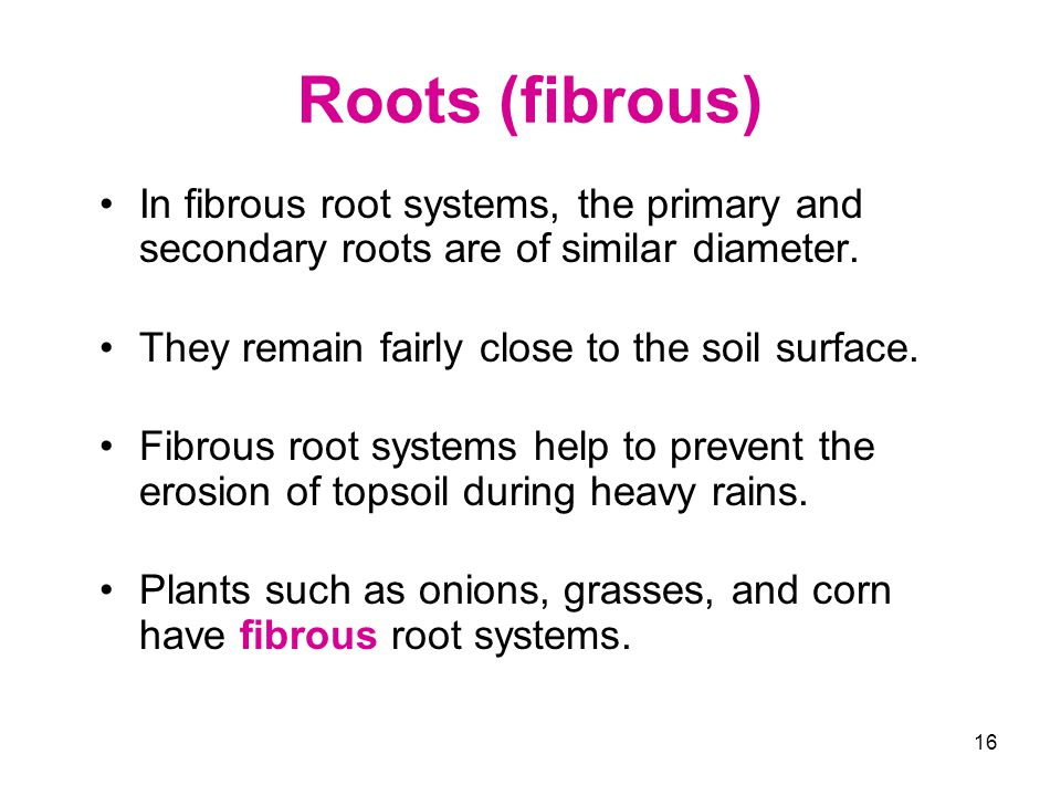 Roots (fibrous) In fibrous root systems, the primary and secondary roots are of similar diameter. They remain fairly close to the soil surface.