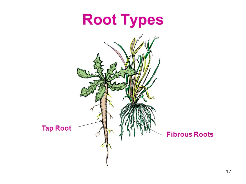 Root Types Tap Root Fibrous Roots
