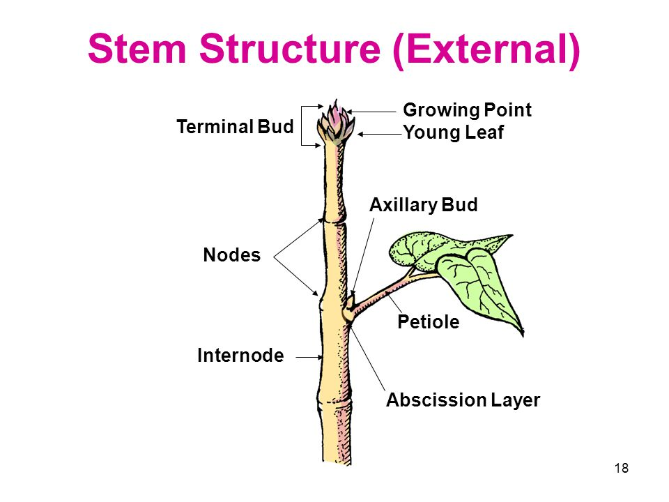 Stem Structure (External)
