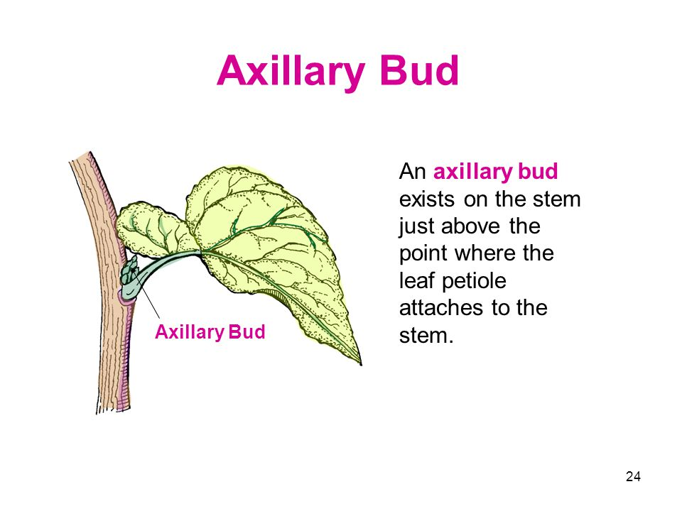 Axillary Bud An axillary bud exists on the stem just above the point where the leaf petiole attaches to the stem.