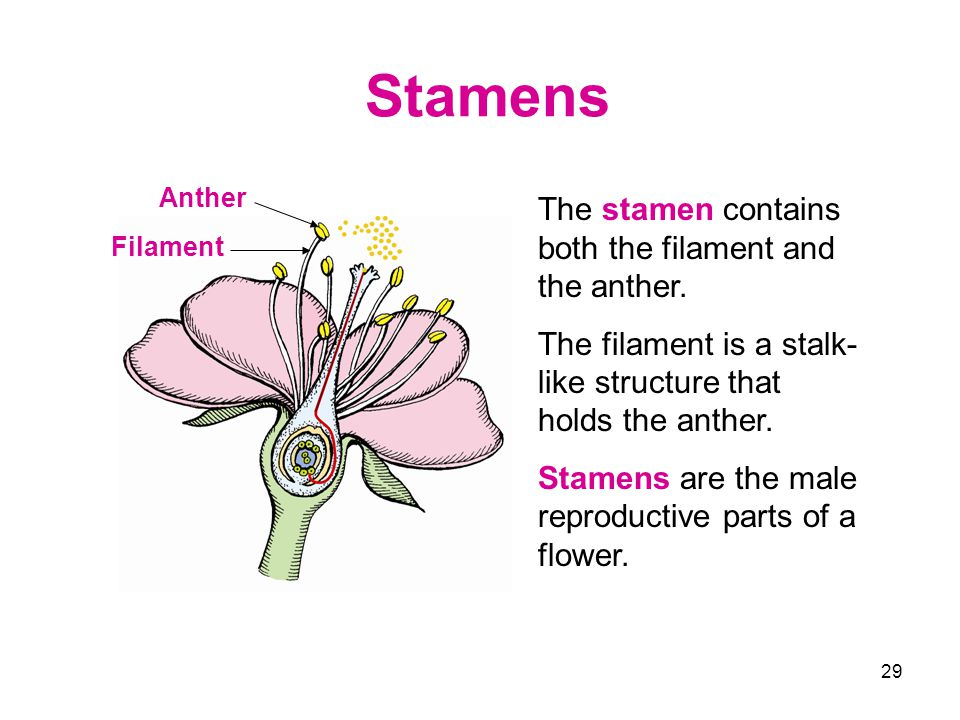 Stamens The stamen contains both the filament and the anther.