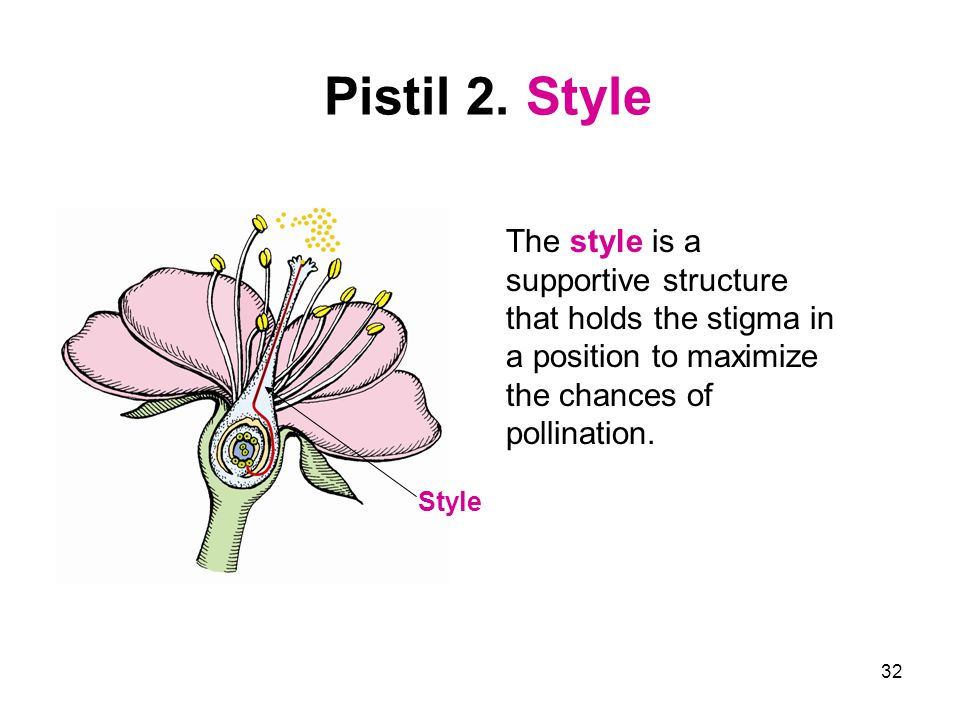 Pistil 2. Style The style is a supportive structure that holds the stigma in a position to maximize the chances of pollination.