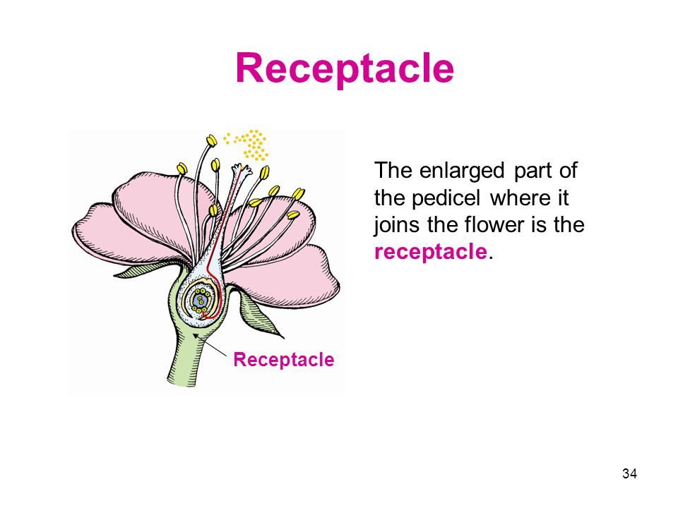 Receptacle The enlarged part of the pedicel where it joins the flower is the receptacle. Receptacle