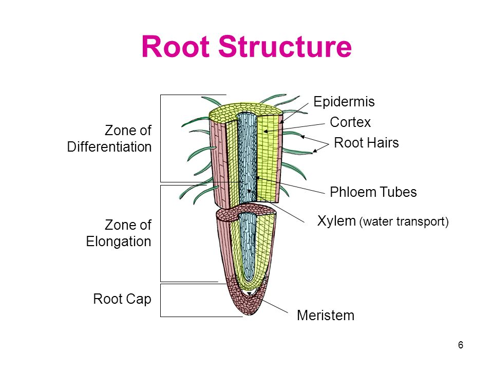 Root Structure Epidermis Cortex Zone of Differentiation Root Hairs