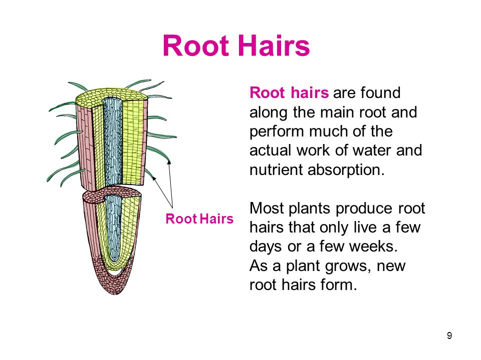 Root Hairs Root hairs are found along the main root and perform much of the actual work of water and nutrient absorption.