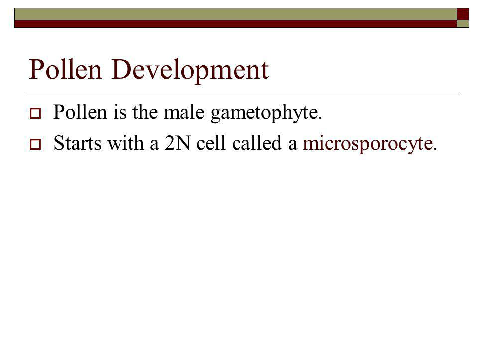Pollen Development Pollen is the male gametophyte.