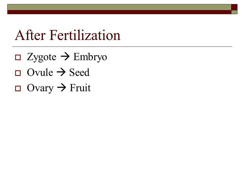 After Fertilization Zygote  Embryo Ovule  Seed Ovary  Fruit