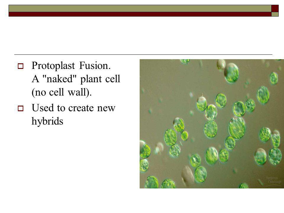 Protoplast Fusion. A naked plant cell (no cell wall).