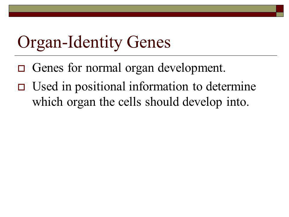 Organ-Identity Genes Genes for normal organ development.