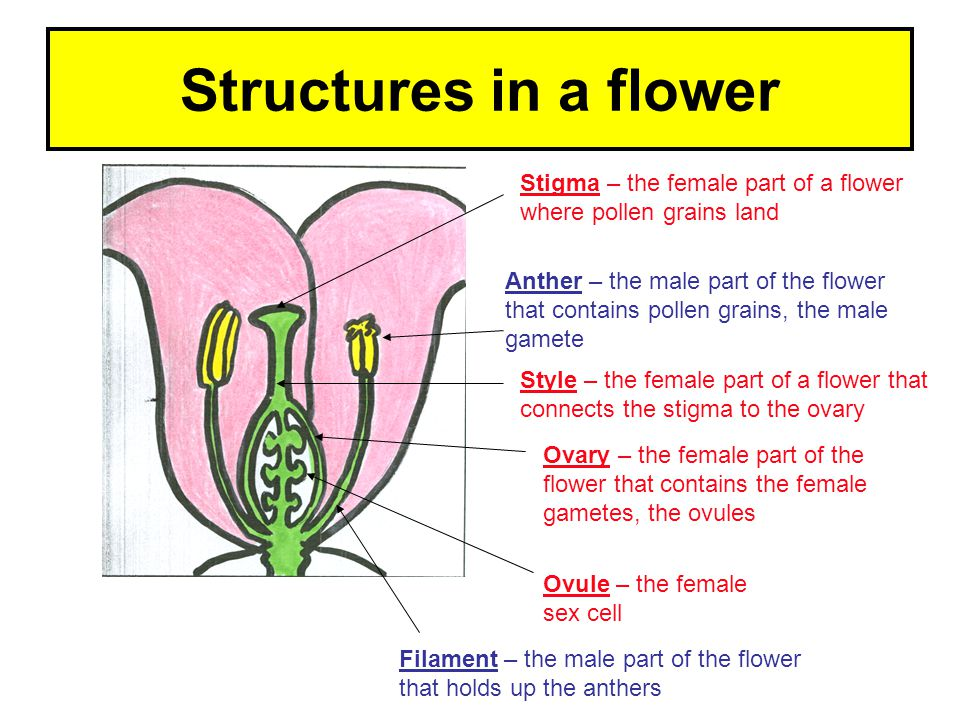 Structures in a flower Stigma – the female part of a flower where pollen grains land.