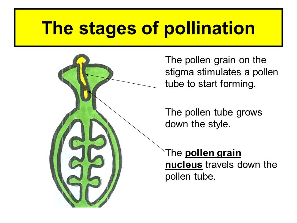 The stages of pollination