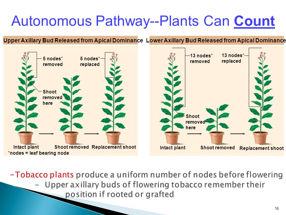 Autonomous Pathway--Plants Can Count