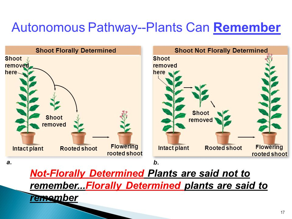 Autonomous Pathway--Plants Can Remember