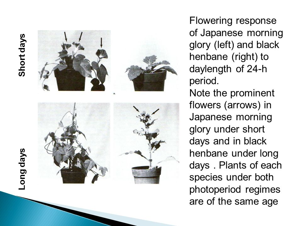 Flowering response of Japanese morning glory (left) and black