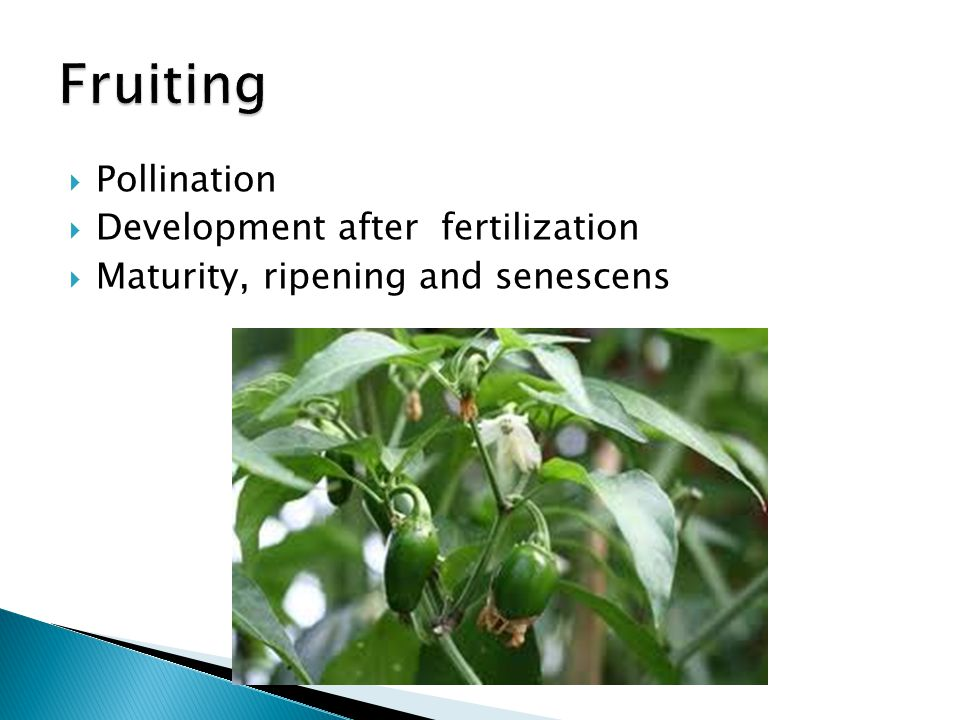 Fruiting Pollination Development after fertilization